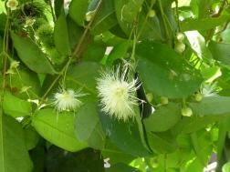 Blüte der Rambutan