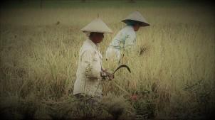 Traditional rice harvest on Java